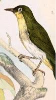 Sangihe White-eye Zosterops nehrkorn terancam punah