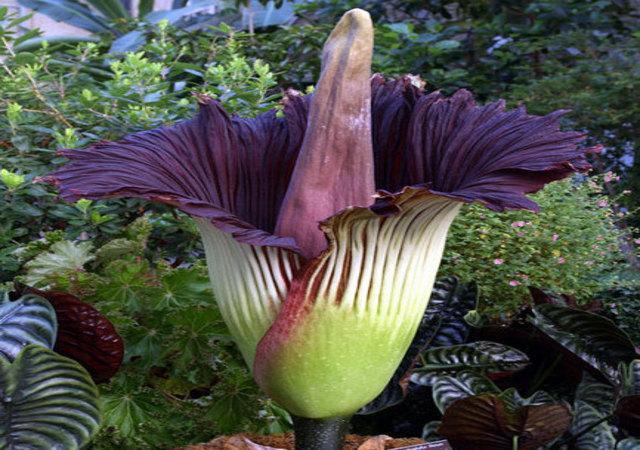 Fiore di  Amorphophallus titanum