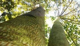 harga pohon jabon manfaat pohon jabon investasi pohon jabon pohon jabon vs sengon pohon jabon 5 tahun pohon jabon merah jarak tanam pohon jabon investasi pohon jabon penipuan