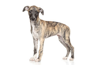 Everything about your Whippet