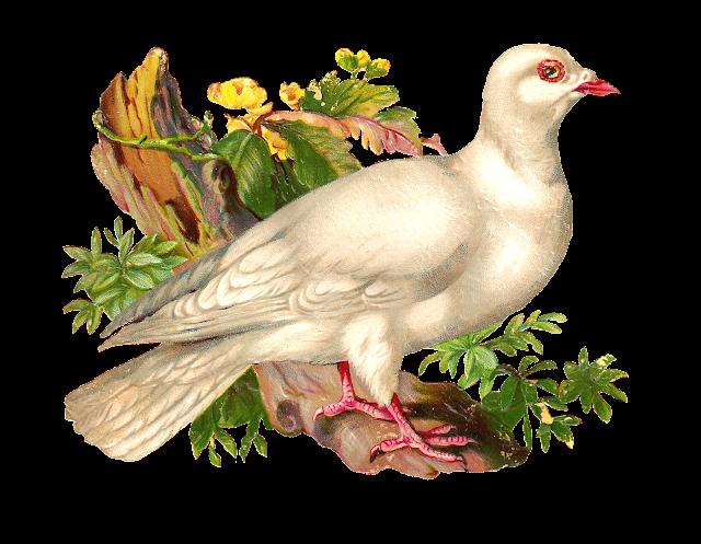 http://4.bp.blogspot.com/-t_MpcGLD9d4/U5ULLyrFRjI/AAAAAAAAUTU/2awK_Feq6VQ/s1600/wht_pigeon_scrappng.png