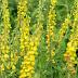 Această plantă pe care o gaseşti la tot pasul scade TENSIUNEA ARTERIALĂ, luptă cu CIROZA şi HEPATITELE CRONICE