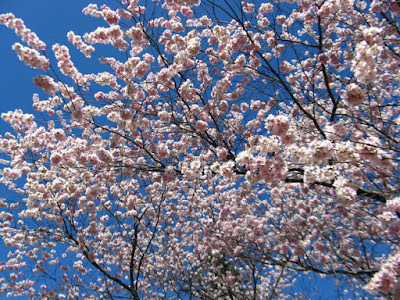 Japanese Flowering Cherry blooms Prunus Accolade at Mount Pleasant Cemetery by garden muses--not another Toronto gardening blog