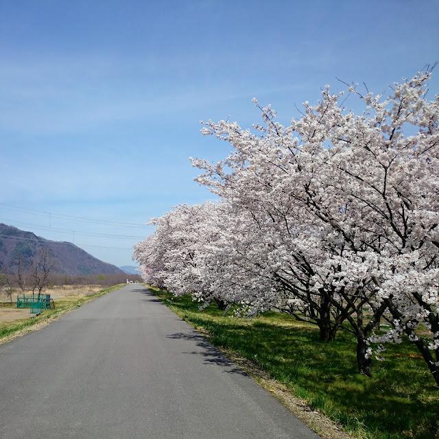 上田 千曲川 桜