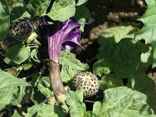 Datura metel 'Oeschberg violet'
