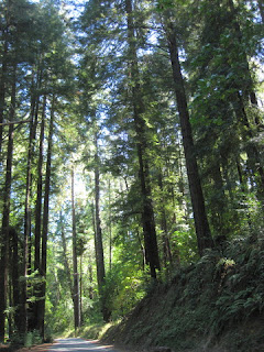 Aldercroft Heights Road passes through the redwood forest, Los Gatos, California