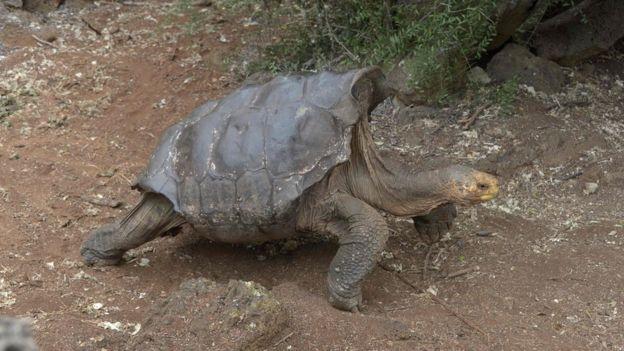 La tortuga que de tanto aparearse ayudó a salvar a su especie de la extinción