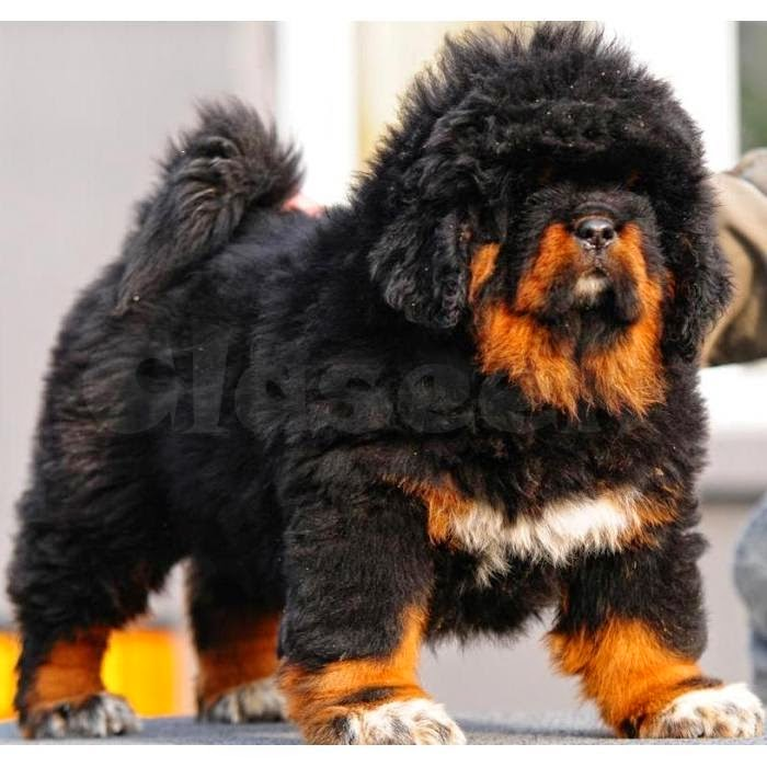 Tibetan Mastiff Puppies Cute and Funny Actions Pictures ~ Tibetan