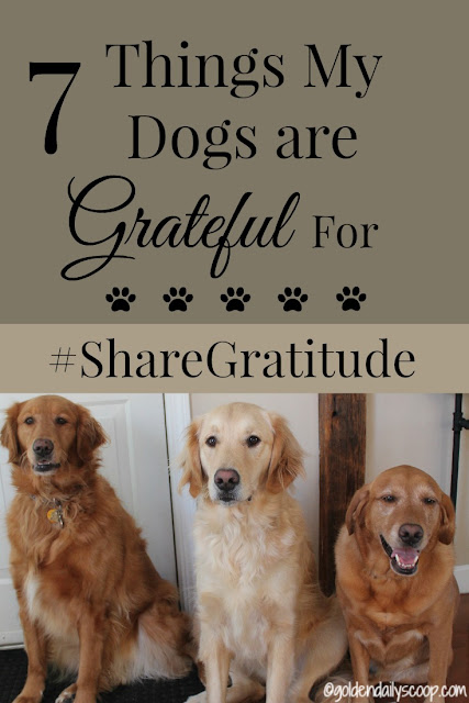 golden retriever dogs sharing gratitude on what they are thankful for #sharegratitude