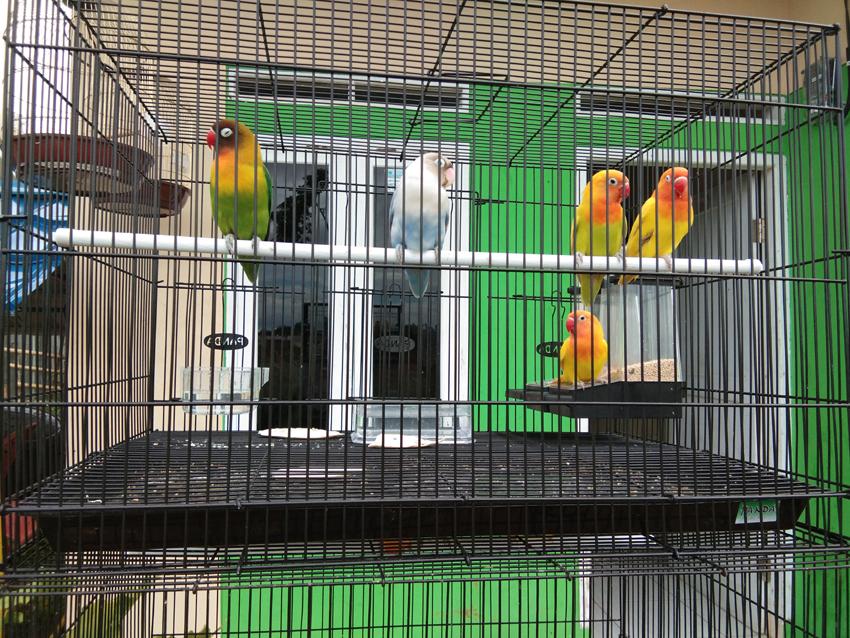 Informasi Seputar Burung Cara Membuat Lovebird Ngekek Panjang Dan Rajin