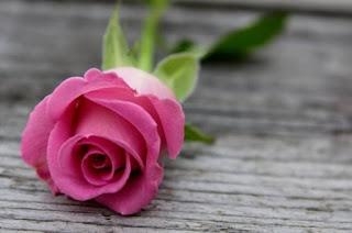 gambar bunga mawar indah 16