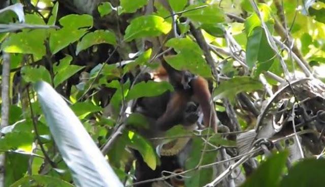 Dikira Monyet Bergelantungan di Pohon, Ternyata yang Ditembak Saudaranya Sendiri