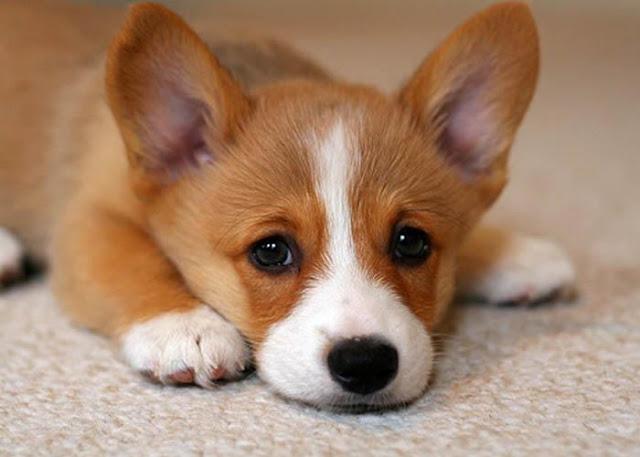 Bệnh nhiễm trùng lao ở chó