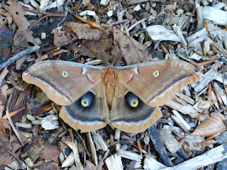 Polyphème d'Amérique - Antheraea polyphemus