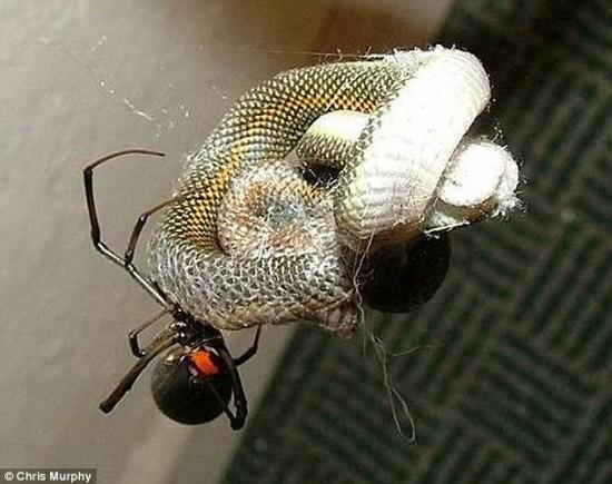 شاهد صور عنكبوت يصطاد أفعى و يأكلها علي عدة أيام