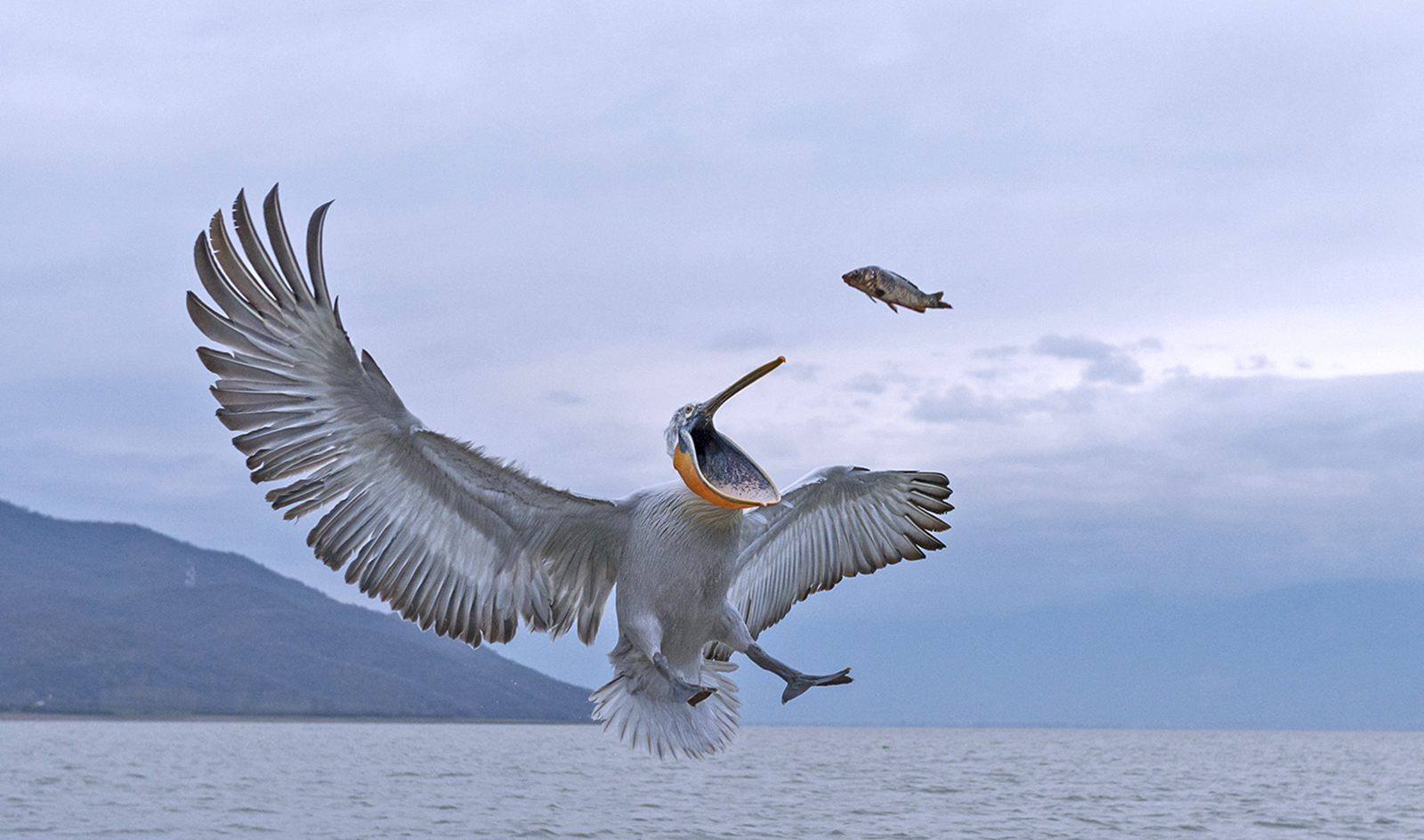 Pelican_Catch_2%255B1%255D.jpg