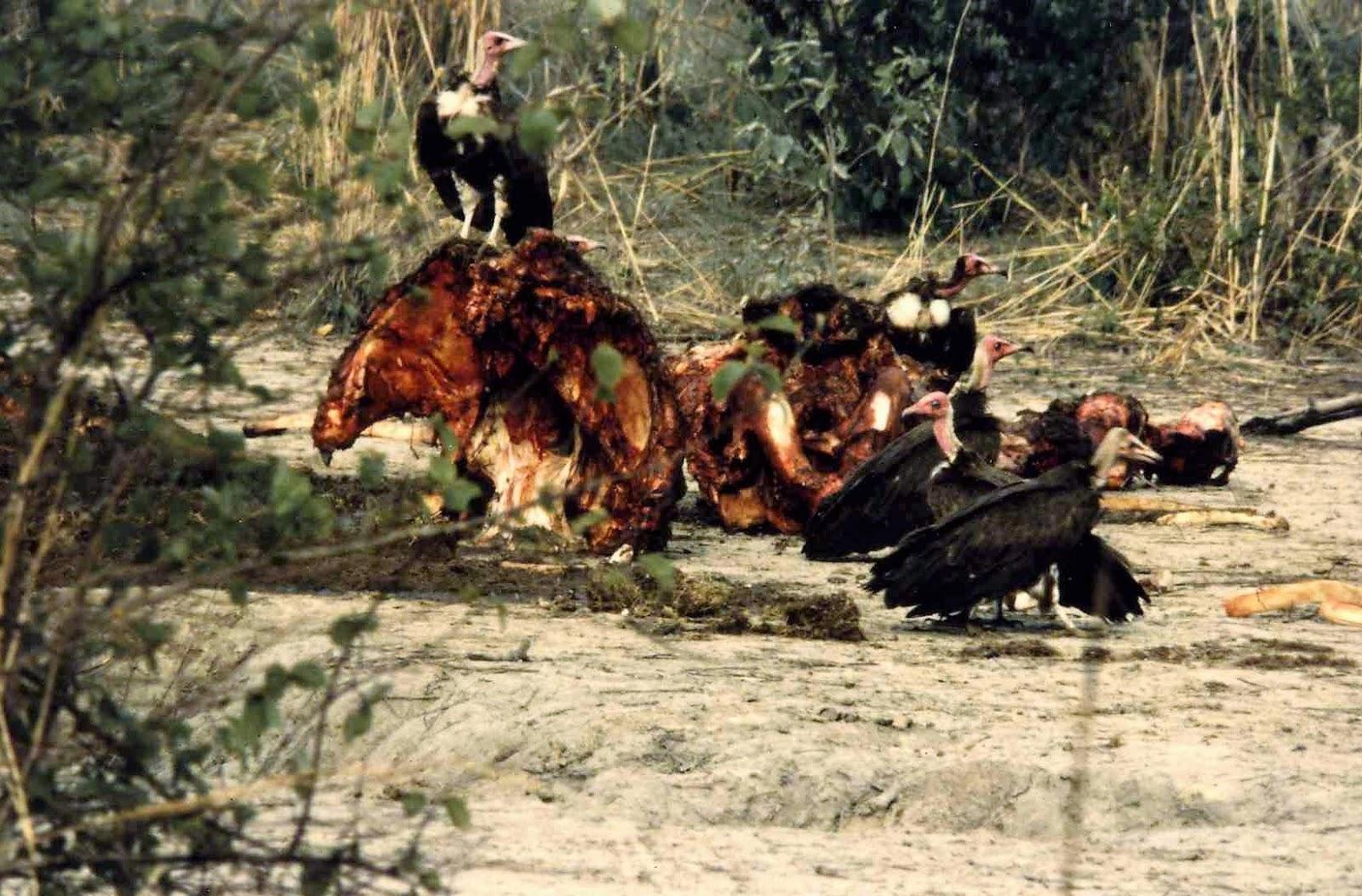 Hécatombe de vautours en Guiné-Bissau