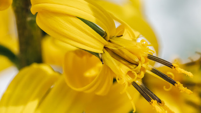 Wallpaper: Yellow Lilium