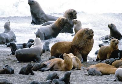 Foto de lobos marinos en la playa