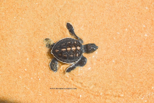Hatchling Release, Egg Planting and Turtle Watching at Resorts World Kijal.