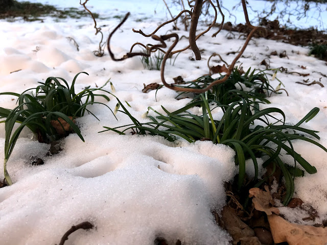 Schneeglöckchen tiefgefroren