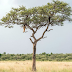 Can you spot the leopard in this tree?