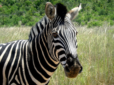 Kruger National Park, South Africa, safari, Zebra, wildlife