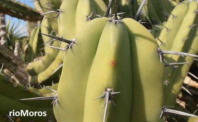 Espinas del GARAMBULLO Myrtillocactus geometrizans