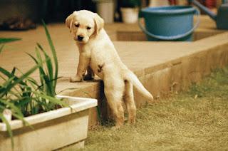 quill, kuiru, guide dog, anjing penuntun tunanetra