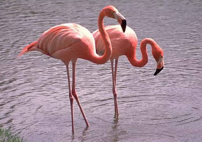 Animals That Start With F - Flamingo