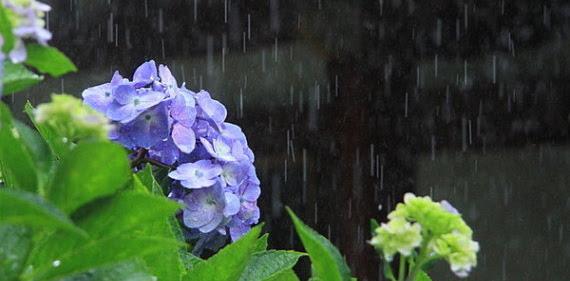 Tanaman yang Perlu Diamankan dari Hujan