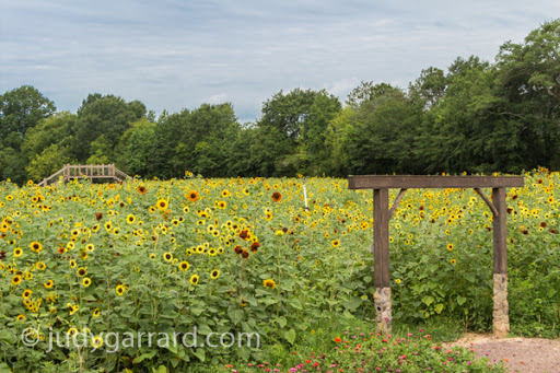 Sunflower field entrance