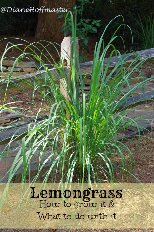 Tips And Technique Grow Your Own Lemongrass In Garden And Backyard Everything About Garden Plants Lemon Grass Grow Lemongrass