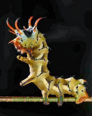 ciri-ciri serangga
