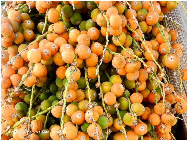 Racimo de frutos de pindó - Chacra Educativa Santa Lucía