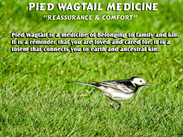 Pied Wagtail Totem Animal Meaning