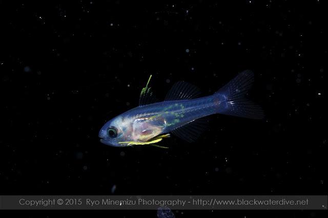 クダリボウズギス属(Gymnapogon)の稚魚