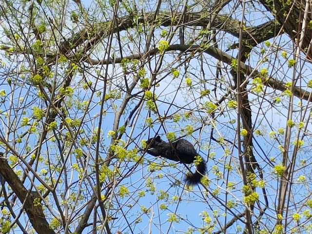 Squirrel Nibbling on Spring Blossoms Urban Wildlife