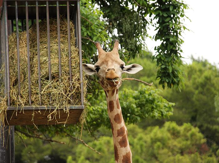 Reiseglueck Gardasee Bardolino travel Safari Park Parco Natura Viva Giraffe