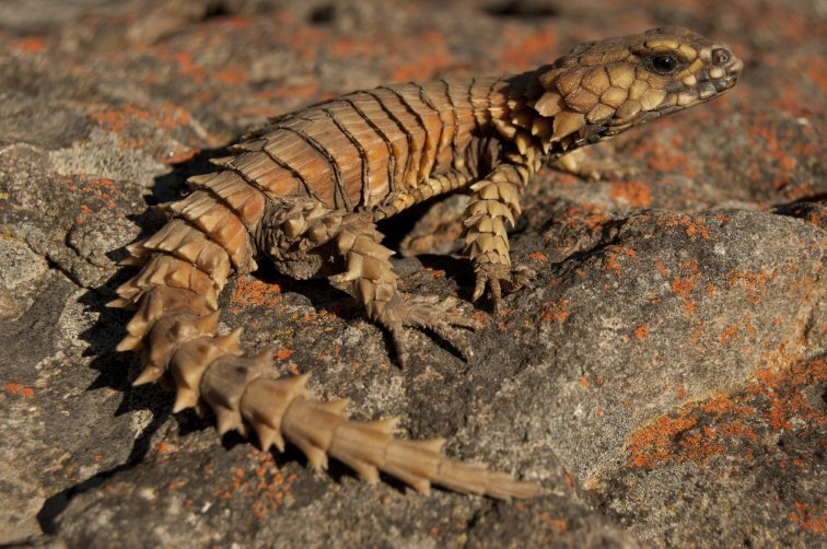 armadillo girdled lizard for sale - Images for armadillo girdled lizard for sale