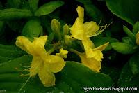 Azalia wielkokwiatowa 'Anneke'- Rhododendron (grupa Knapp Hill-Exbury) 'Anneke'