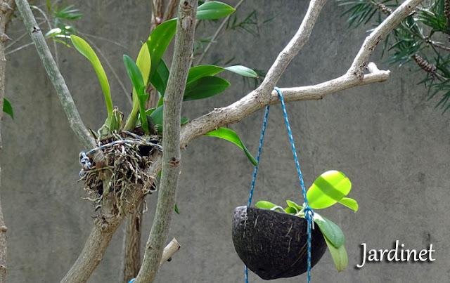 Como plantar orquídeas na casca do coco