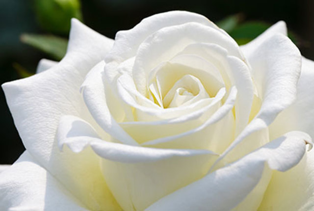 Princesa nadie - Significado rosas blancas ...