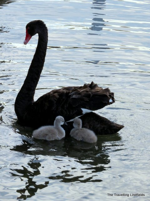 Paynesville black swan and signets