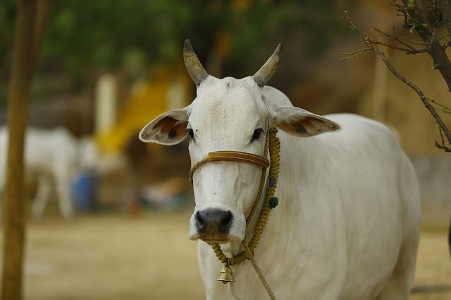 A cow in India