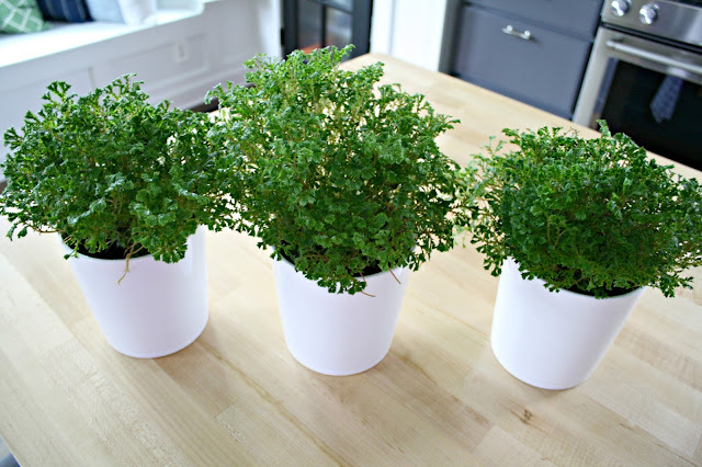 Fern plants for centerpiece
