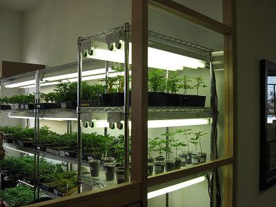 Cultivo de marihuana con fluorescentes