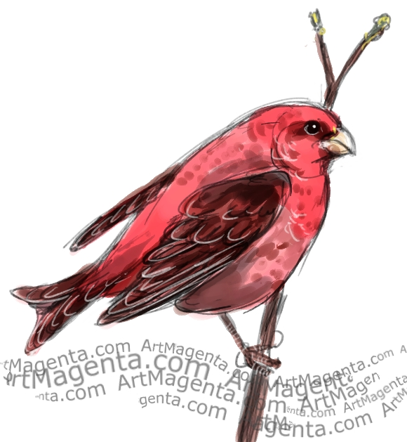 Rosefinch sketch painting. Bird art drawing by illustrator Artmagenta
