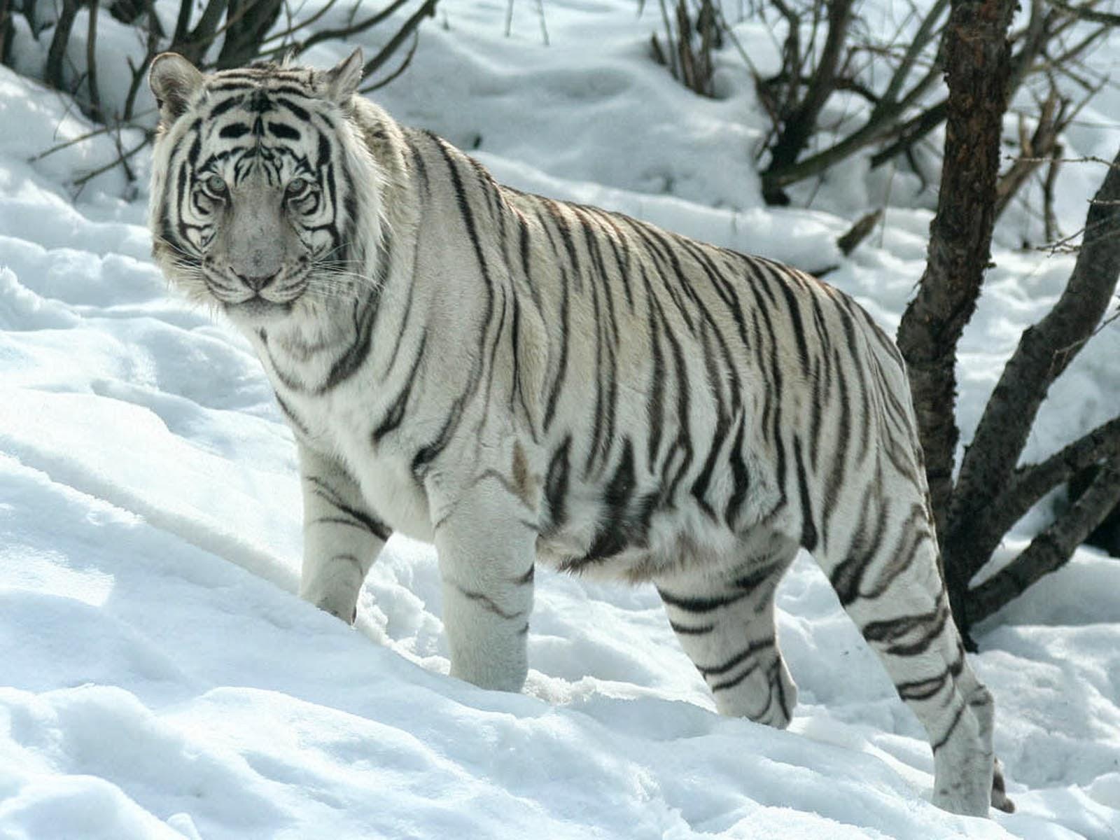 Wallpapers White Tiger Desktop Wallpapers
