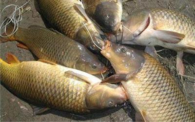 cá chép đồng tại Dongqueviet.com